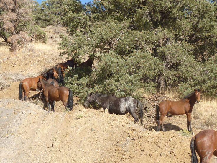 Wild horses in Western Nevada