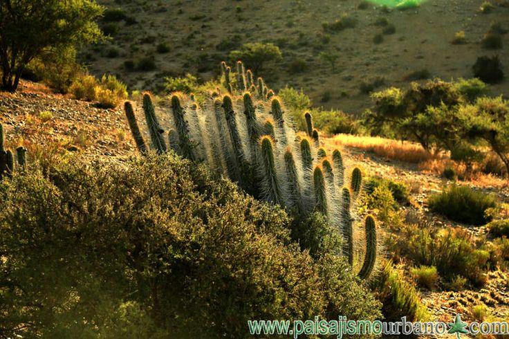 Descripción de la especie Tristerix aphyllus:  El Quintral del Quisco (Tristerix aphyllus ) es una planta hemiparásita, endémica de Chile. Se trata de una pequeña planta que presenta tallos lampiños y además carece de hojas. Las flores de Tristerix aphyllus se desarrollan en una inflorescencia de racimo en el ápice de las ramitas, las que pueden tenero o no bractéolas.