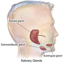 The salivary glands in mammals are exocrine glands, glands with ducts, that produce saliva. They also secrete amylase, an enzyme that breaks down starch into maltose get your free training here http://www.whatcausestonsilstones.org/