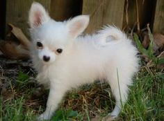 Long Haired Tea-cup Chihuahua...my Charley looks simular to this cutie only with black/brownish spots on body and face...he's now almost a week old!! So excited!!