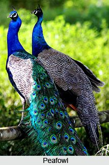 Indian Peafowl  is a local breeder in the Indian subcontinent. It is the national bird of India. The male (peacock) Indian Peafowl has shimmering blue-green or green colored feathers.