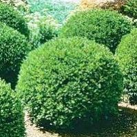 Deer resistant shrubs: Green Velvet Boxwood. It will assume a pleasing, 2'-3' rounded shape and maintain its color year-round. Height: 2 - 3 feet. Spread 3 feet. Full Sun to Partial Shade.