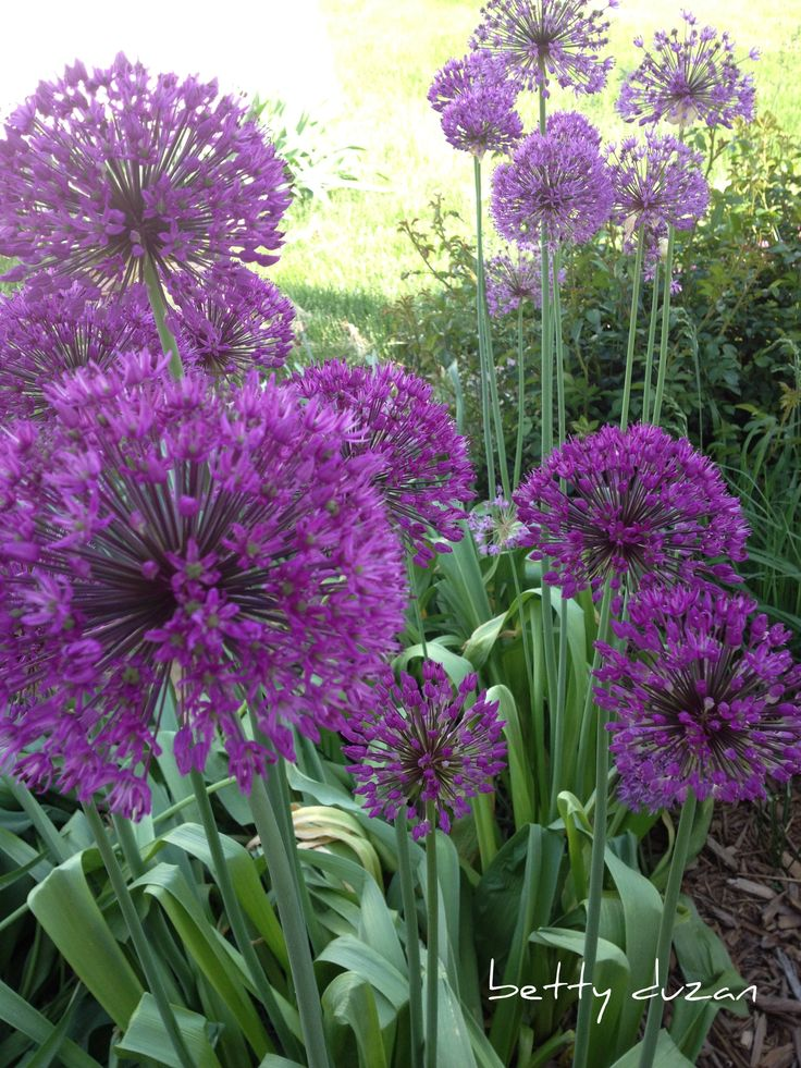 One of my favorite perenials, the giant allium, stands proud in my flower garden.
