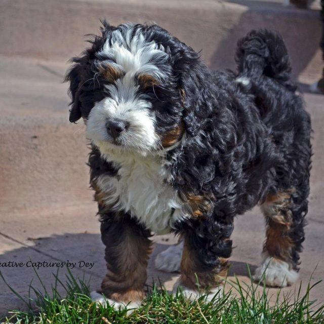 F1 Bernedoodles Mini Bernedoodle Bernedoodle Puppy Cute