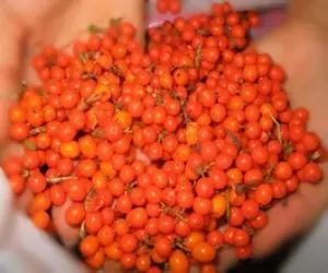 Imaginea thumbnail despre Catina cu miere de albine tratament pentru 33 de boli