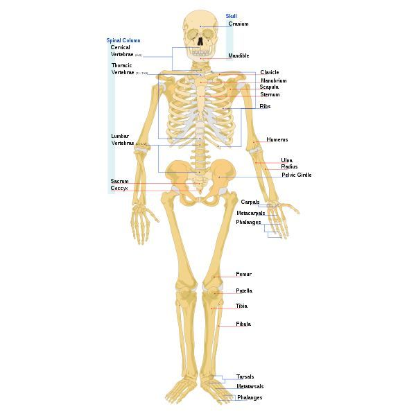 four main tissues of the body Learn about the four kinds of tissue in the human body, view close-up scans of  various parts of the body, meet professionals who work in fields dealing with.