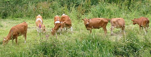 Guernsey cattle - Wikipedia, the free encyclopedia