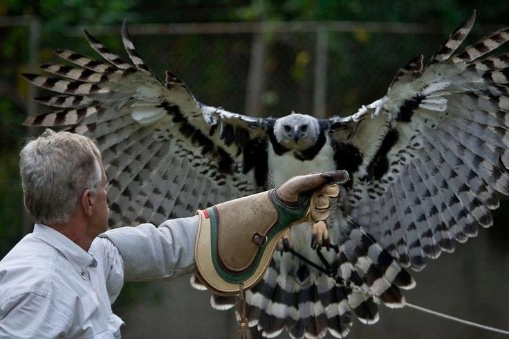 Harpy eagle - Pesquisa Google