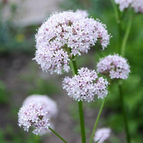 Valeriana officinalis, läkevänderot. Medicinalväxt där roten används i läkemedel mot kramp, nerv- och hjärtsjukdomar, som febernedsättande, m.m. Blir ca 1 meter hög, placera i sol/halvskugga, blommar juli-september.