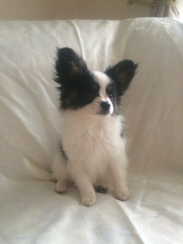 Beautiful Papillon Puppies for sale Doncaster, South