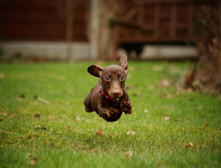Best DACHSHUND Images On Pinterest Dachshunds Dachshund - 29 cutest dog photos existence