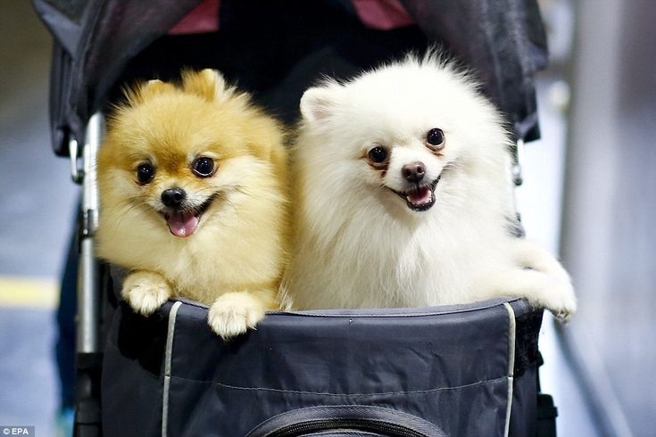 Cute: Adorable Pomerian dogs ride in a pushcat through the show, which attracts thousands ...