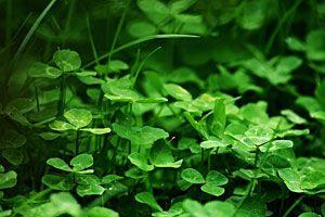 Klee im Rasen entfernen – 2 Tipps