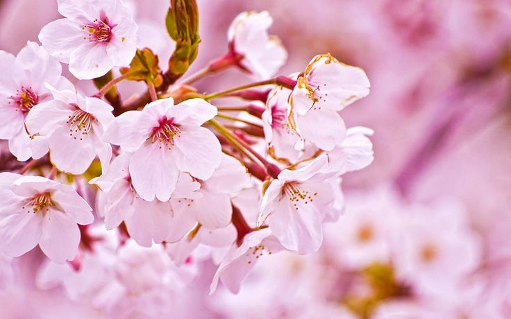 awesome Sakura flower graceful Free Download