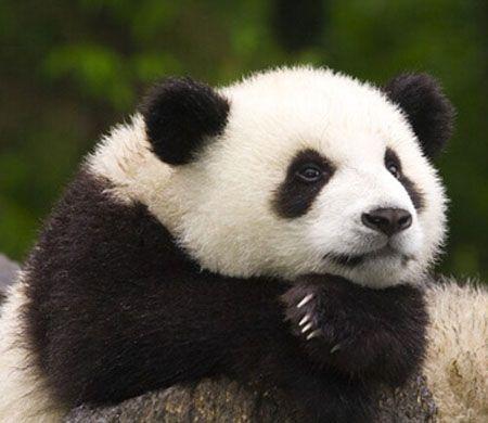 """""""whatcha thinkin' about?""""    """"oh nothin', just panda stuff"""""""