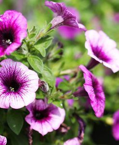 Get beautiful Annual flowers plants at TERRA to decorate your garden with varieties of annuals plants at genuine price.