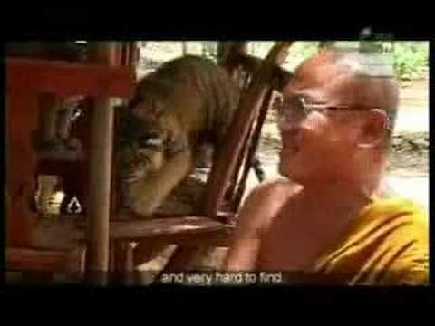 Tiger Temple Animal Planet