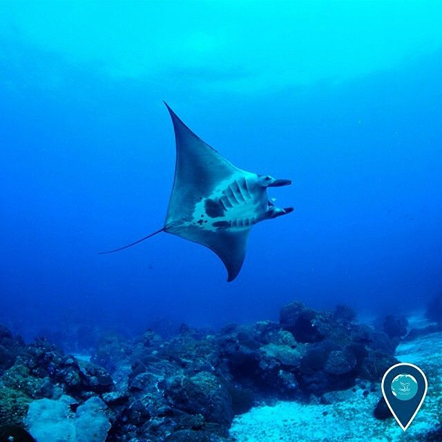 "Happy #MantaMonday from NOAA's Flower Garden Banks National Marine Sanctuary! Researchers can identify manta rays by their unique underside markings. More than 60 individuals have been added to the catalog of mantas that have been spotted at this ""hot spot"" for marine life in the Gulf of Mexico.   (Photo: GP Schmahl/NOAA) #EarthIsBlue"