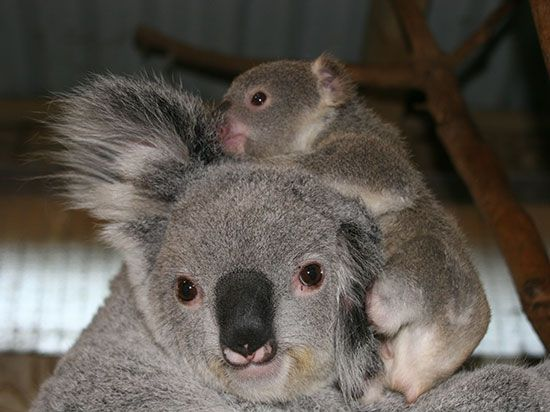 Visit Blackbutt Reserve in New Lambton where koalas, emus, wallabies, wombats and peacocks reside. Blackbutt Reserve is a 182 hectare reserve in the middle of Newcastle's suburbs which features walking trails, children's playgrounds and tranquil picnic areas with free electric barbeques.