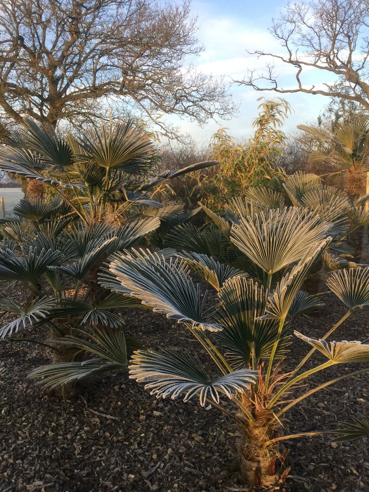 Frosty Trachycarpus look fabulous