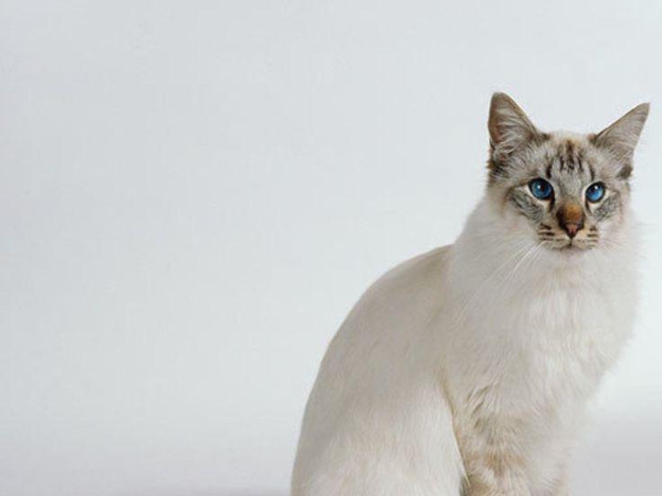 10 Hypoallergenic Cats Balinese Cat Cats Cat Allergies