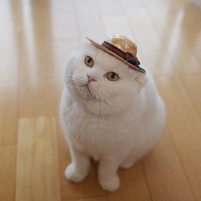 暑いけど投票に行って来ますよ #麦わら帽子 #小さ過ぎた #顔が大き過ぎた #おさがり確定  #参議院選挙 #参院選  I'll go out for a minutes  #cat #scottishfold #neko #whitecat #catstagram #catsofinstagram #catloverw #instacat #gato #chat #猫 #ねこ #ネコ #ふわもこ部 #もふもふ #白猫 #しろねこ #スコティッシュフォールド #白いすこちゃん同盟 #チームしろねこ