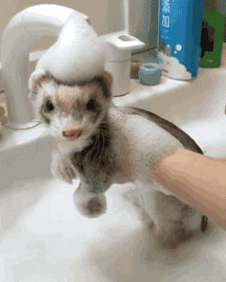 Cute ferret gets bath