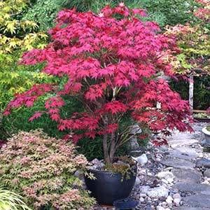 Red Dragon - Weeping Japanese Maple Tree for Sale | Fast Growing Trees