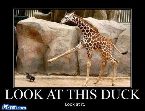 Quack!: Laughing So Hard, Funny Things, Giraffe, Giggl, Ducks, Funny Stuff, Funny Animal, So Funny, Animal Memes