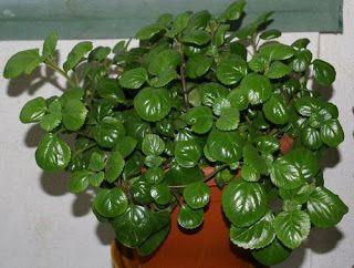El secreto de las plantas: PLANTA DEL DINERO