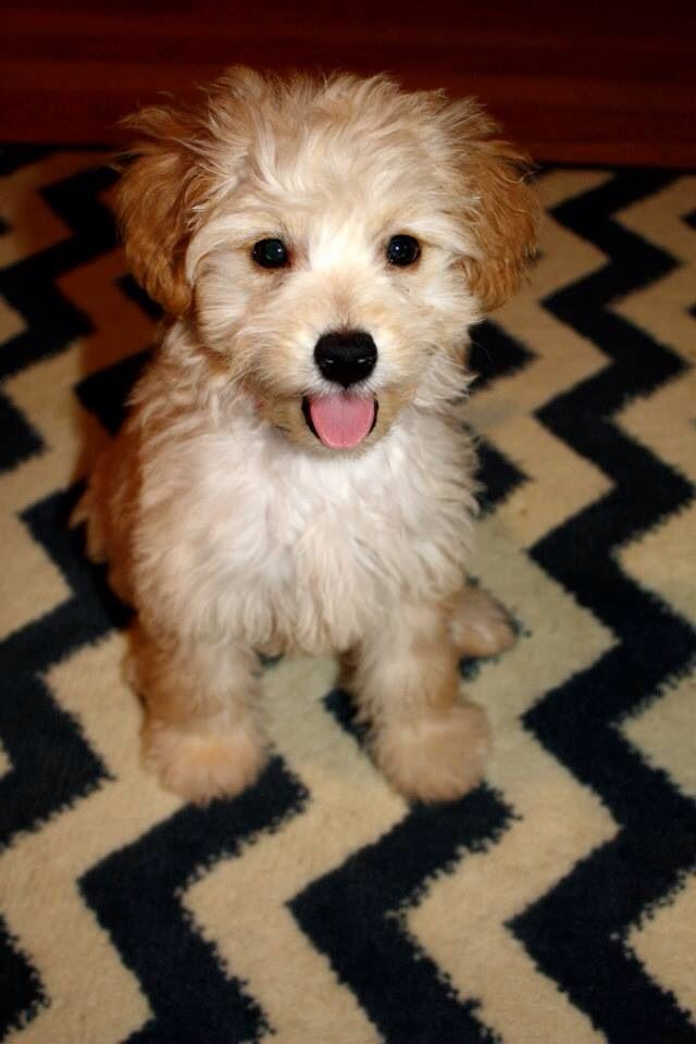 Mini Goldendoodle love