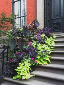 Great combo of chartreuse and dark sweet potato vines, purple elephant ears and a pop of fuchsia color - probably Impatiens (maybe a New Guinea type).  One cautionary note - the sweet potato vines ARE vines; they will need regular pruning.