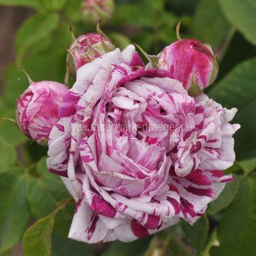 Rosen online kaufen | Variegata di Bologna | rosenpark-draeger.de