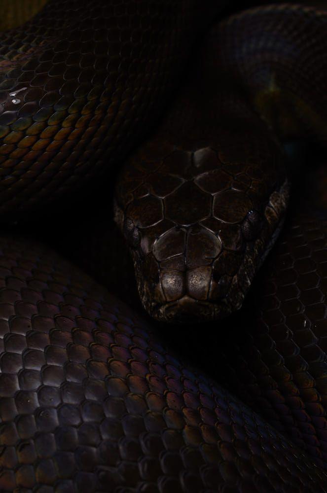Evil Eye By Mehelya 500px Snake Wallpaper Black Snake Wallpaper Snake Wallpaper Aesthetic Black mamba hd wallpaper