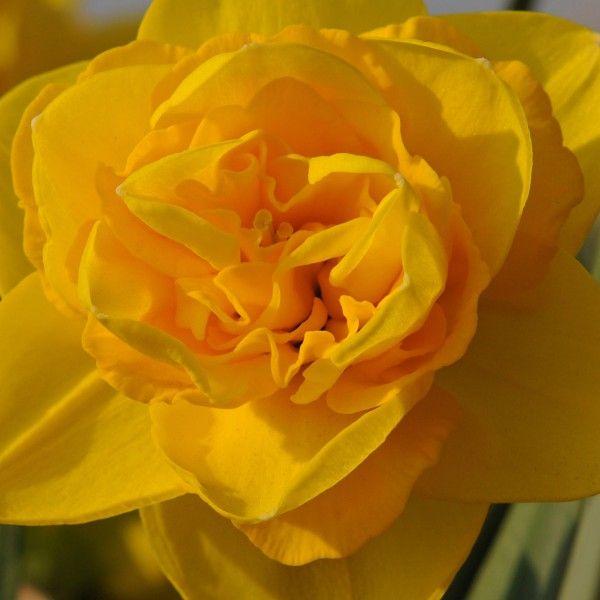 'Brindabella' ist eine gefüllte Narzisse mit einer symmetrischen, sternförmigen Blüte. Außergewöhnlich! Pflanzzeit ist im Herbst - online erhältlich bei www.fluwel.de