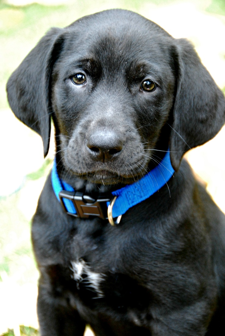 black lab golden retriever best 25 black golden retriever ideas on pinterest 2810