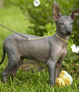 Peruvian Inca Orchid | Dog Breed Info And Characteristics