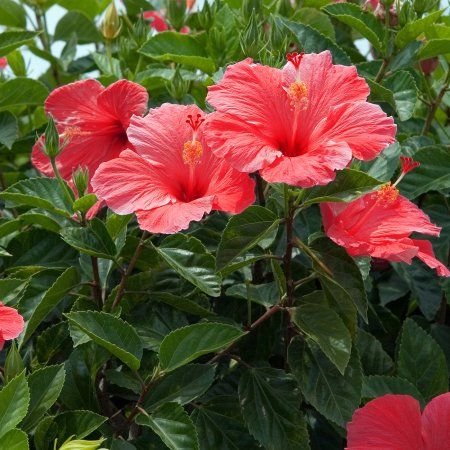 Van Zyverden Hibiscus S Lucy Red Set Of 1 Root Stock Walmart Com Hibiscus Shrub Hibiscus Flowers