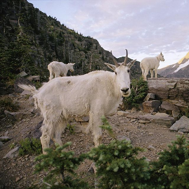 Photo by @skipbrownphoto: A #mountain #goat spots the camera near Sperry Chalet, #GlacierNationalPark, #Montana.
