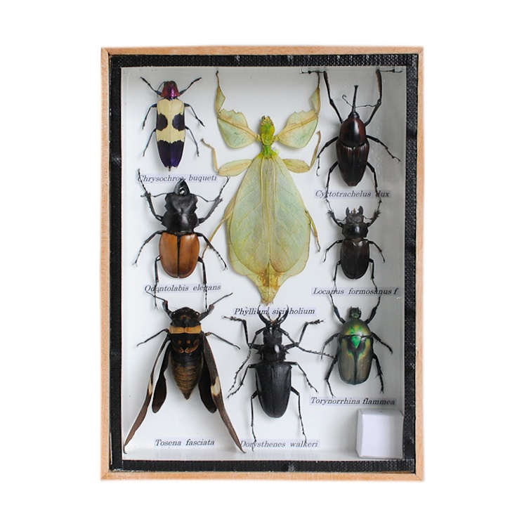 FRAMED BUG COLLECTION - Width 15 cm   Height 20 cm