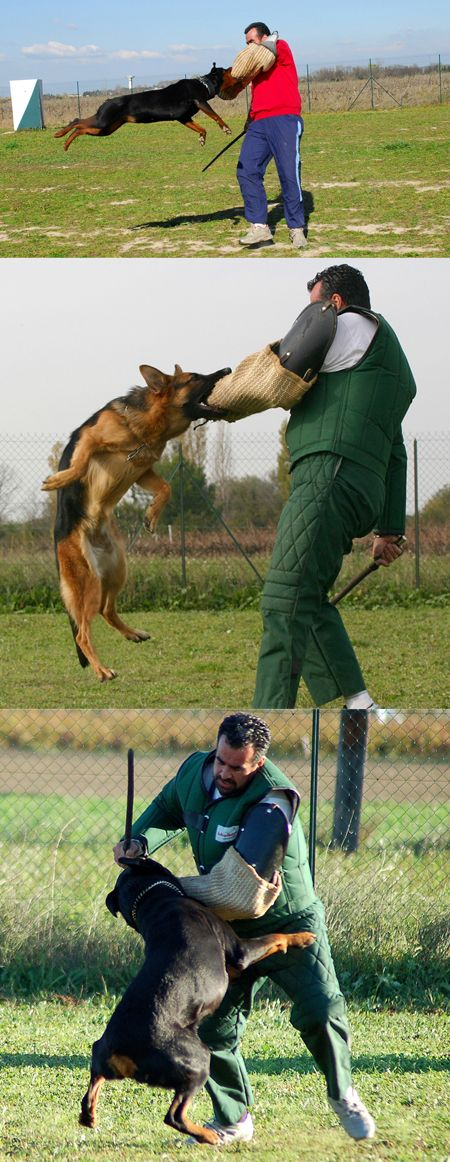Train your dog to attack on command #spartadog #dogtraining #dogs