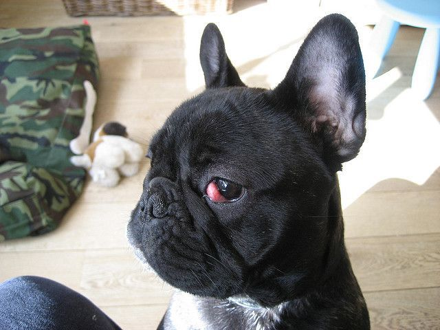All You Need To Know About Cherry Eye On French Bulldogs French