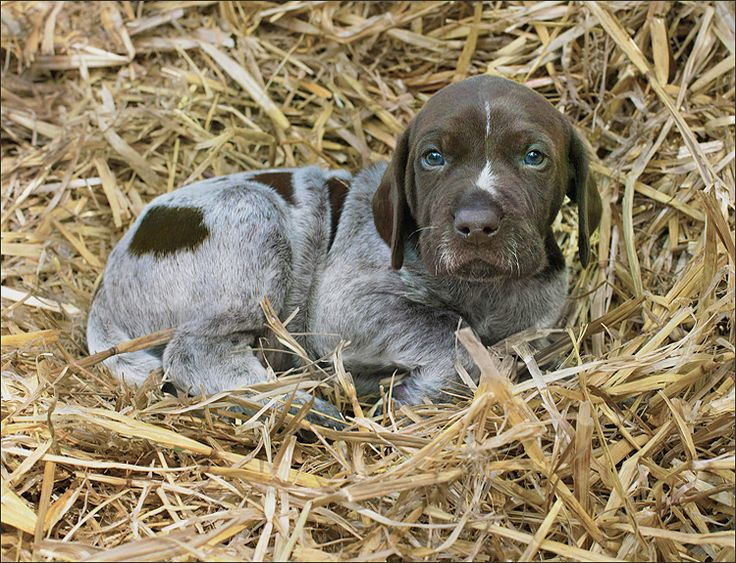 GSP Pup - At Home In The Hay by poochpics.org