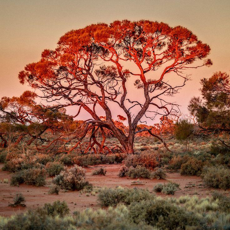Red mulga tree at sunset - Central Australia - www.electronicswagman.com.au