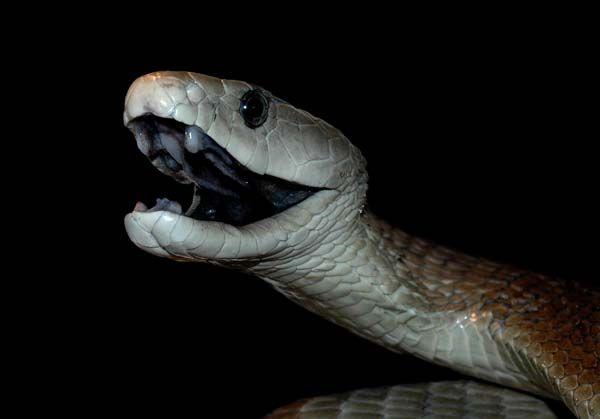Zwarte mamba - Het gif van de zwarte mamba, de giftigste slang van Afrika, is net zo krachtig als morfine. Maar het heeft niet de bijwerkingen van morfine. Dat concludeerden Franse wetenschappers. Ze menen dat die ontdekking veel zal gaan betekenen voor de bestrijding van pijn.
