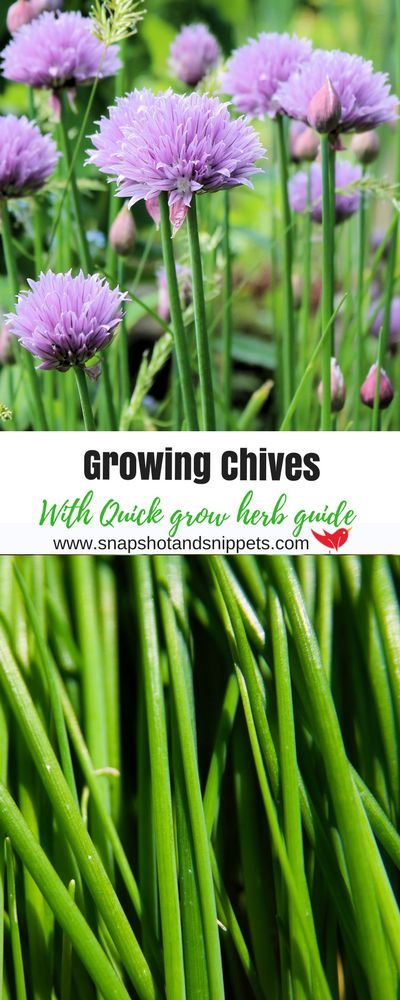 Growing chives is easy and to make it even easier I have a handy quick grow herb guide to help you grow these tasty chives in your garden or on your windowsill