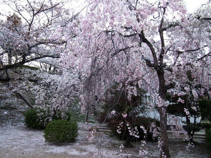Himeji castle Sakura