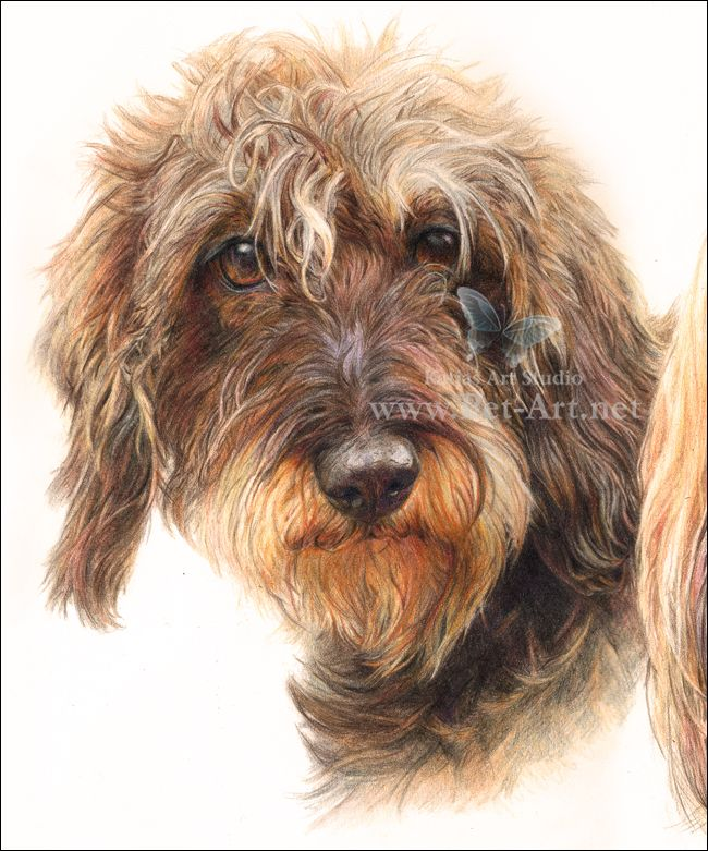 Pet Portraits - Dachshund drawing in Colored Pencil - Katja's Art Studio Blog