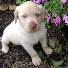 Resultado de imagem para raças de cachorro chitson