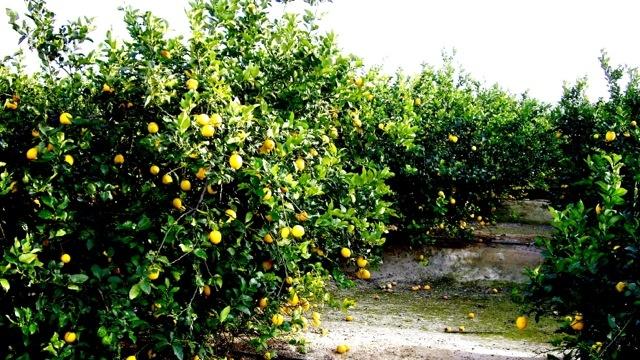 Appelsintræ fra appelsinlund tæt på min mor fars bolig i Spanien
